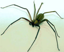 Miami Brown Recluse Spider